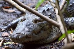Crocodile at Petén, Guatemala