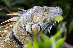 Macho de Iguana Verde a orillas de Río La Pasión