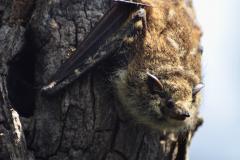 Murciélago Narigón