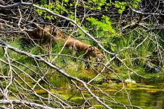 Tzi' ha', el perro de agua - nutria en el Refugio de Vida Silvestre El Pucté, Las Cruces