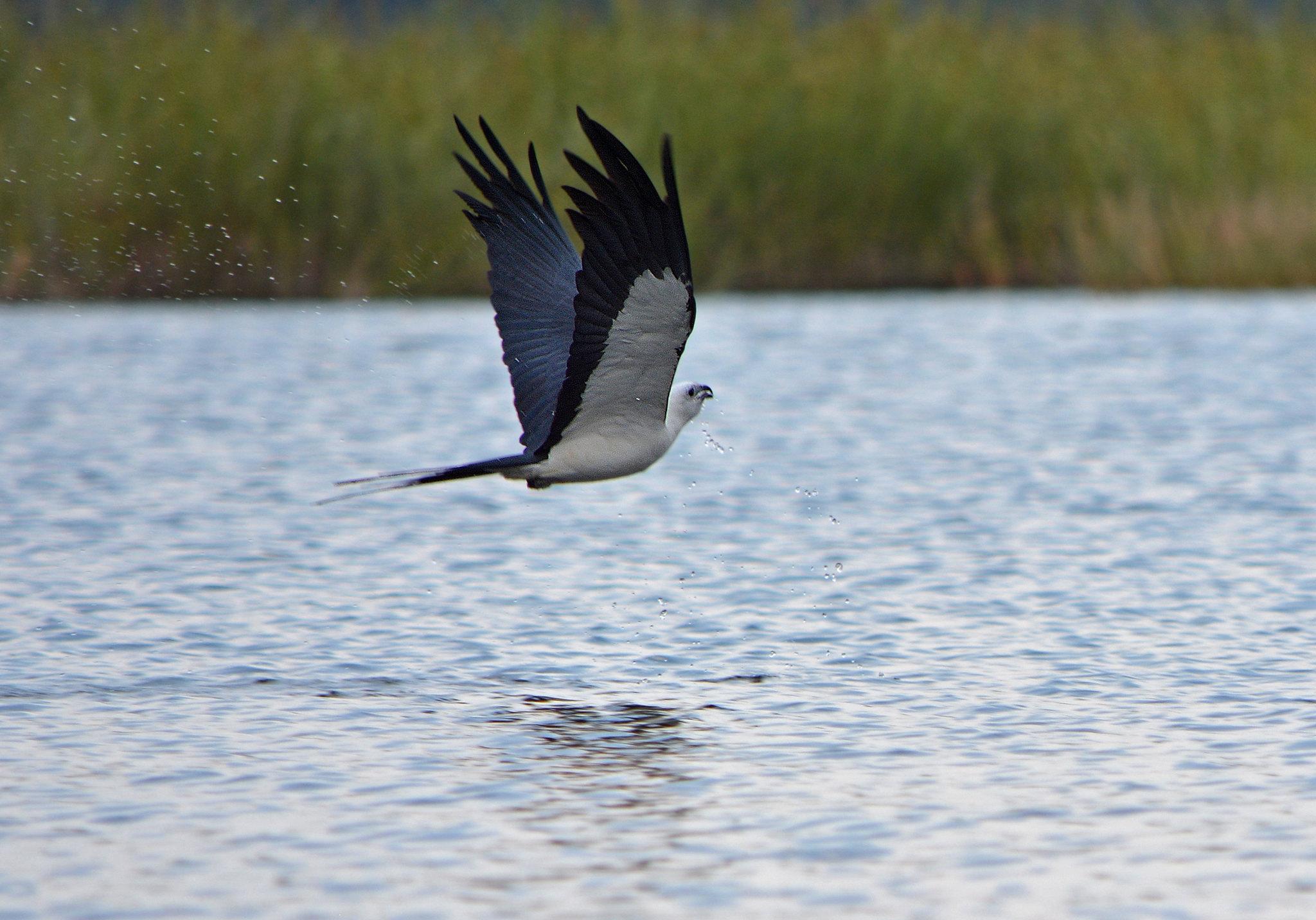 Swallow kite
