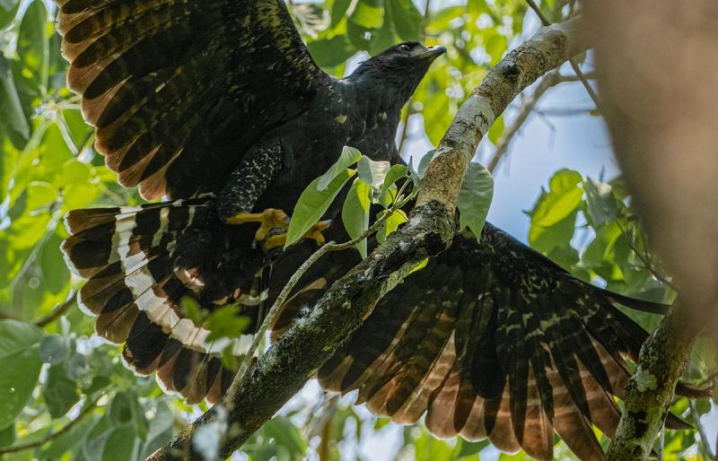 Aves Rapaces en Puerto Arturo, Petén