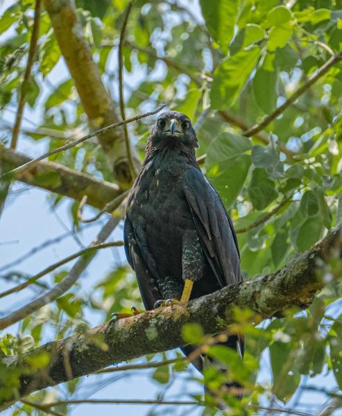Aves Rapaces en Puerto Arturo, Petén.