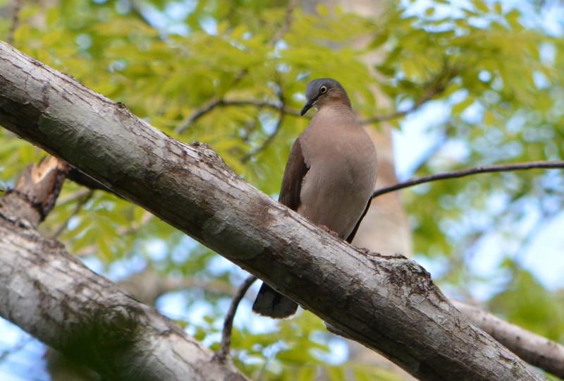 Gray headed Dove