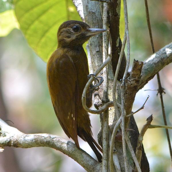 Picoides fumigatus