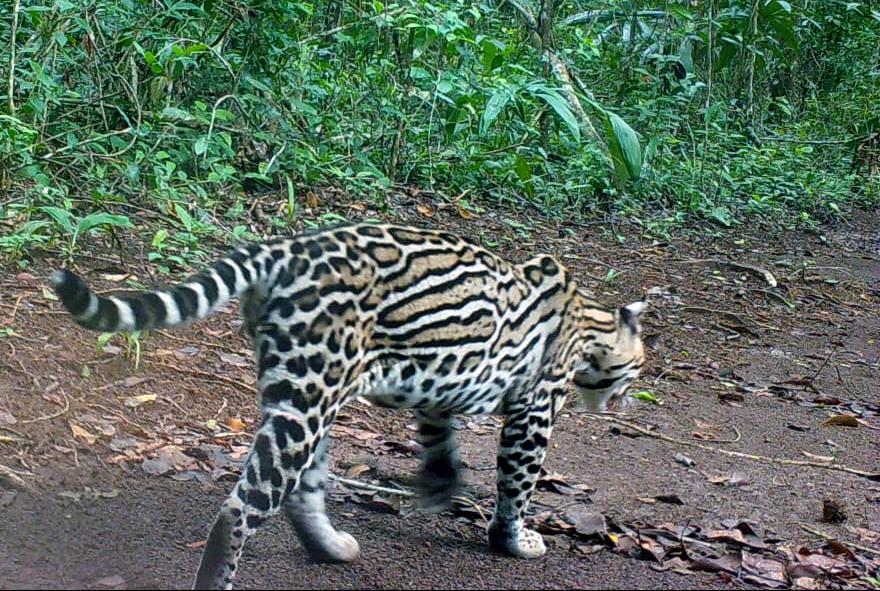 Jaguar en Puerto Arturo, Petén